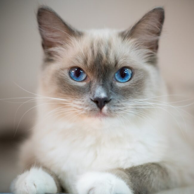 blue-eyes-cat-2602085_1920